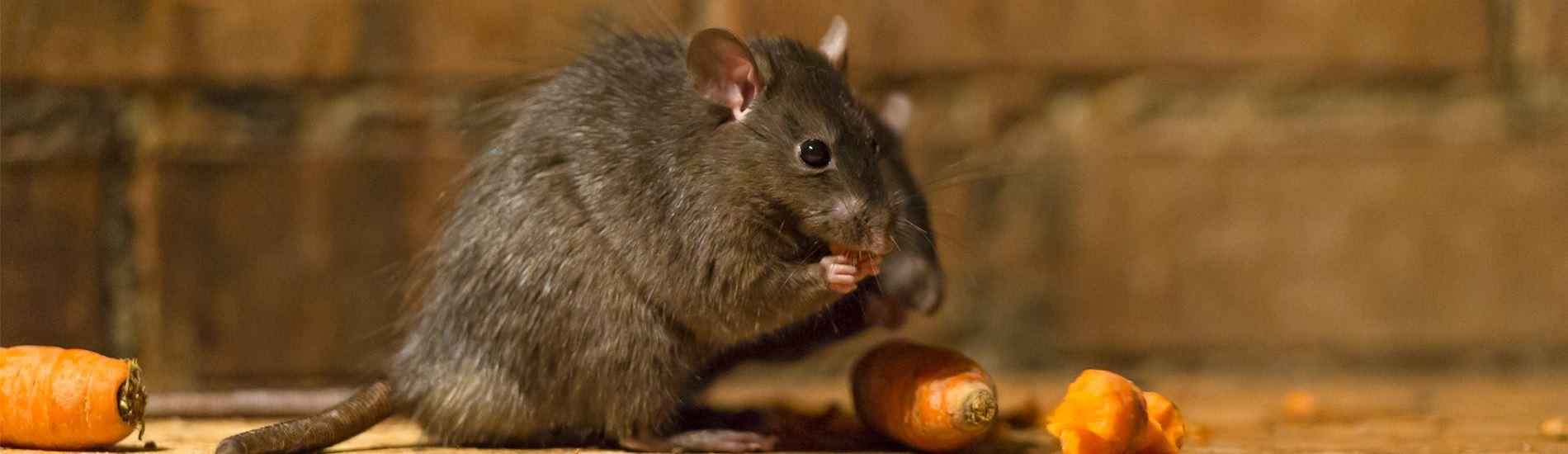 rodent_slide