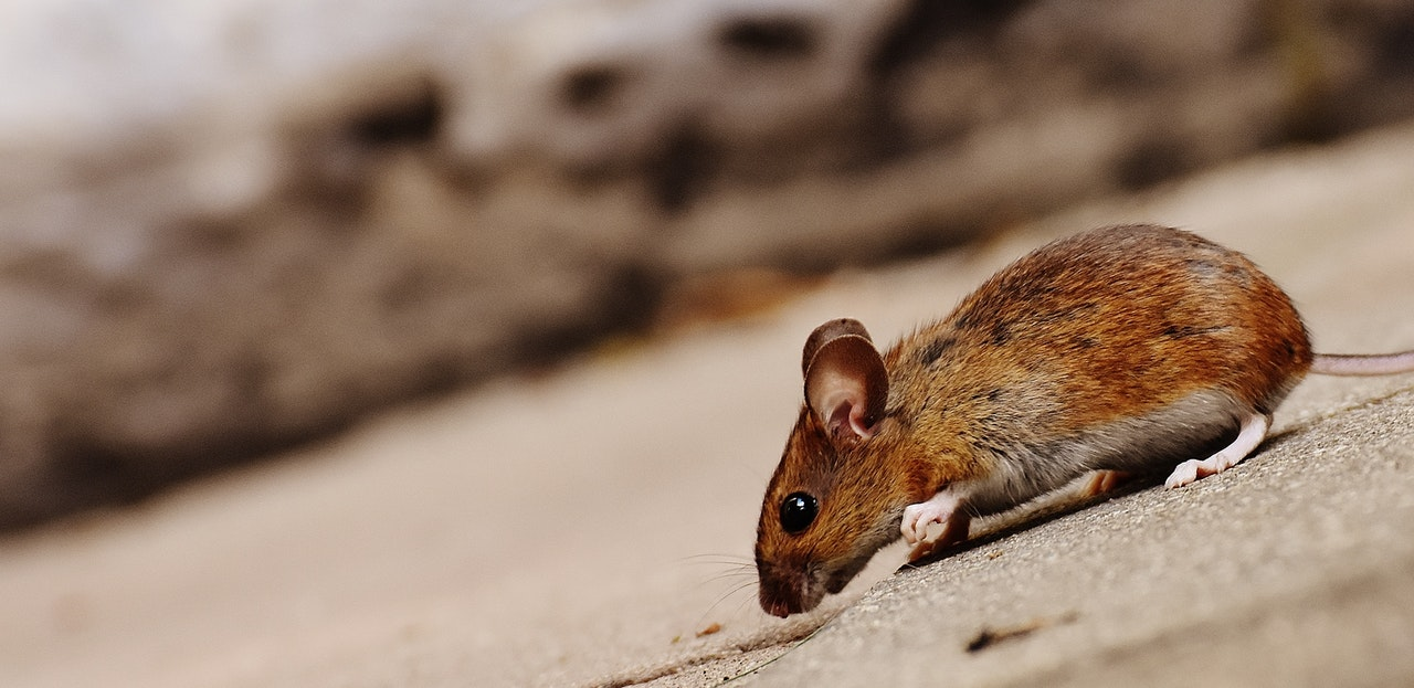 rat-rodent